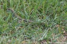 Aruba-Rennechse (Cnemidophorus arubensis) auf der Karibikinsel Aruba