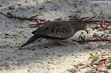 Sperlingstäubchen (Columbina passerina albivitta) auf Aruba