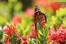 Monarchfalter (Danaus plexippus) auf Aruba
