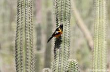 Orangetrupial (Icterus icterus ridgwayi) auf Aruba