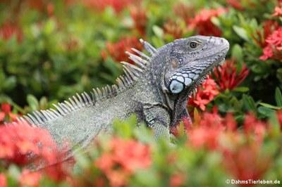Grüner Leguan auf Aruba
