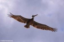 Brauner Pelikan (Pelecanus occidentalis occidentalis) auf Aruba