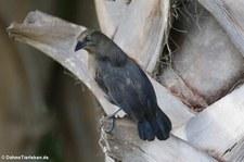 Trauergrackel (Quiscalus lugubris lugubris) auf Aruba