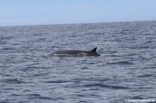 Finnwal (Balaenoptera physalus) vor der Küste von São Miguel, Azoren