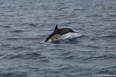 Delfin (Delphinus delphis)