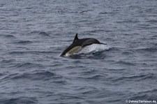 Delfin (Delphinus delphis) vor der Azoren-Insel São Miguel