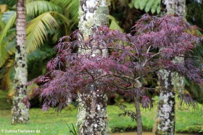 Roter Fächerahorn (Acer palmatum)