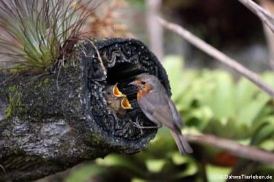 Rotkehlchen (Erithacus rubecula rubecula)