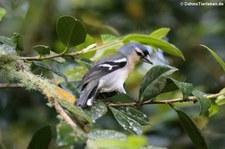 Männlicher Buchfink (Fringilla coelebs moreletti) im Terra Nostra Garden auf der Azoren-Insel São Miguel