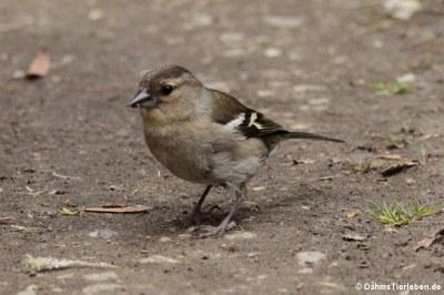 Weiblicher Buchfink (Fringilla coelebs moreletti)