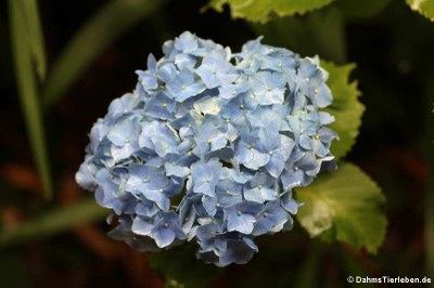 Hortensie (Hydrangea macrophylla)