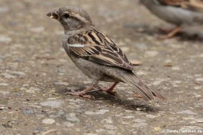 weiblicher Sperling (Passer domesticus)