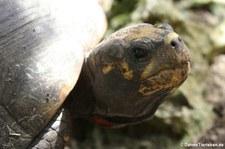 Köhlerschildkröte (Chelonoidis carbonaria) im Barbados Wildlife Reserve