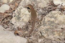 Bonaire Rennechse (Cnemidophorus ruthveni) auf der Karibikinsel Bonaire