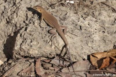 Weibliche Bonaire Rennechse (Cnemidophorus ruthveni)