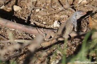 Männliche Bonaire Rennechse (Cnemidophorus ruthveni)