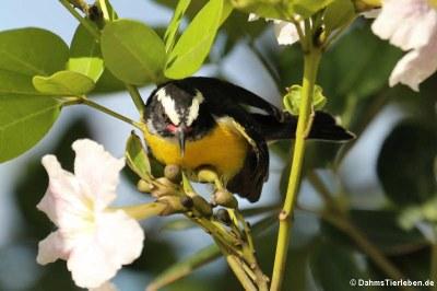 Zuckervogel (Coereba flaveola bonairensis)
