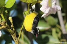 Zuckervogel (Coereba flaveola bonairensis) auf der Karibikinsel Bonaire