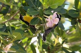 Zuckervögel (Coereba flaveola bonairensis)