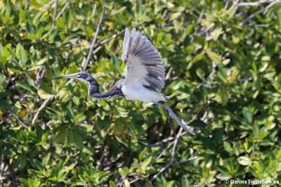 Dreifarbenreiher (Egretta tricolor ruficollis)