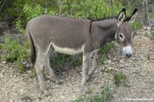 Nubischer Wildesel (Equus africanus africanus) auf Bonaire