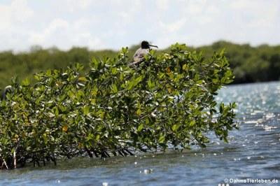 Prachtfregattvogel (Fregata magnificens) in den Mangroven