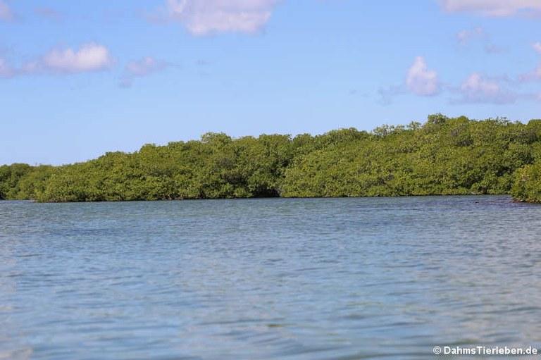 Mangroven am Lac Bay
