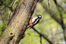Weiblicher Buntspecht (Dendrocopos major pinetorum) im Schlosspark Brühl