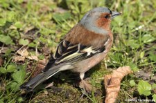 männlicher Buchfink (Fringilla coelebs coelebs) im Schosspark Brühl