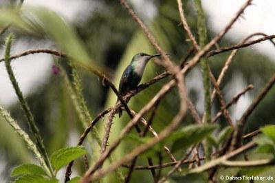 Schuppenbrustkolibri (Phaeochroa cuvierii)