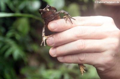 Untersuchung einer Blattlaubfall-Kröte