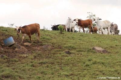 Neugierige Blicke der Kühe. Sie wissen sicherlich, was die Besucher erwartet