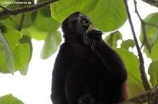 Mantelbrüllaffe (Alouatta palliata palliata) im Nationalpark Cahuita, Costa Rica
