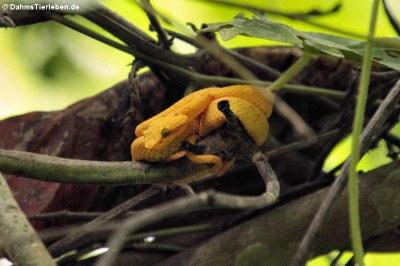 Greifschwanz-Lanzenotter (Bothrechis schlegelii)