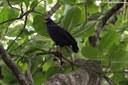 Buteogallus anthracinus anthracinus