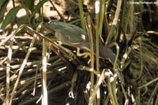 Grünreiher (Butorides virescens virescens) im Nationalpark Cahuita, Costa Rica