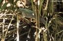 Butorides virescens virescens