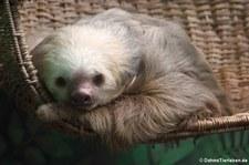 Hoffmann-Zweifingerfaultier (Choloepus hoffmanni) in der Sloths Sanctuary Cahuita, Costa Rica