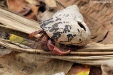 Karibik-Landeinsiedlerkrebs (Coenobita clypeatus) im Nationalpark Cahuita, Costa Rica