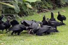 Rabengeier (Coragyps atratus brasiliensis) Nationalpark Cahuita, Costa Rica