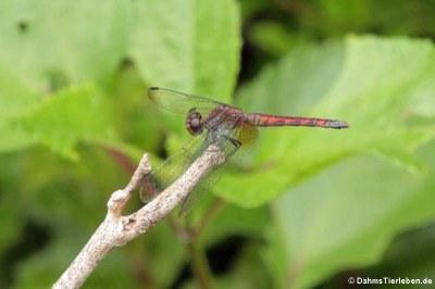 Libelle (Erythrodiplax fervida)