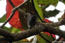 Eichelspecht (Melanerpes formicivorus striatipectus) im Nationalpark Cahuita, Costa Rica