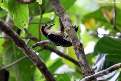 Eichelspecht (Melanerpes formicivorus striatipectus)