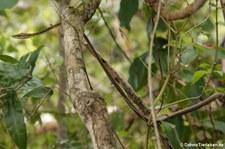 Erdspitznatter (Oxybelis aeneus) im Nationalpark Cahuita, Costa Rica