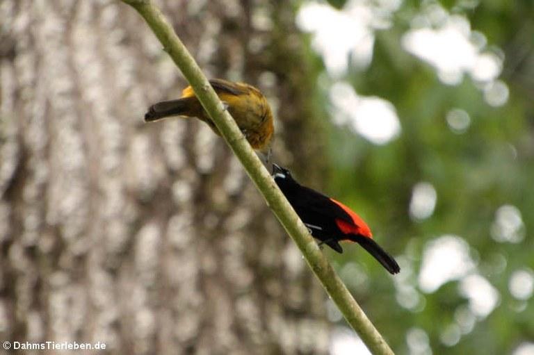 Ramphocelus passerinii