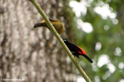 Passerinitangare (Ramphocelus passerinii)