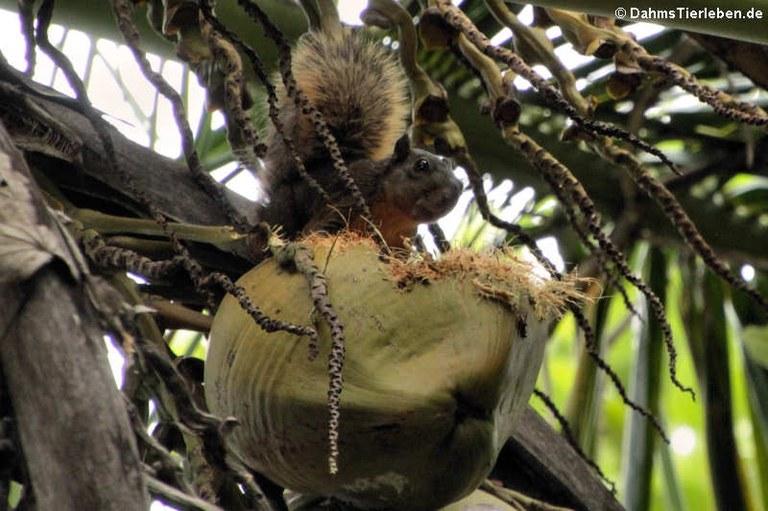 Sciurus granatensis