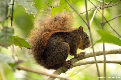 Rotschwanzhörnchen (Sciurus granatensis)
