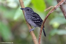 Westlicher Tropfenameisenwürger (Thamnophilus atrinucha atrinucha) im Nationalpark Cahuita, Costa Rica