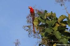 Hellroter Ara (Ara macao macao) im Nationalpark Carara, Costa Rica